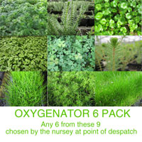 Anglo Aquatic Oxygenator Plants (6 x 9cm Pots, EXTRA 2-3 WEEKS FOR DELIVERY)