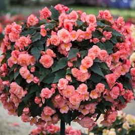 Begonia Plants - Sweet Spice English Rose