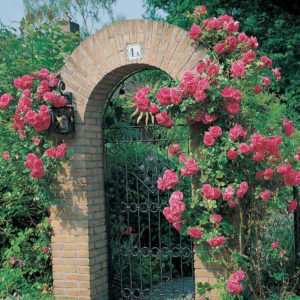 Blossomtime Climbing Rose Bare Root Plant