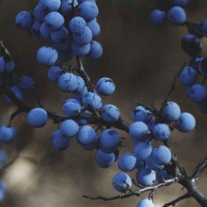 Blueberry Bluejay 2 Litre Pot Plants - Set of 3