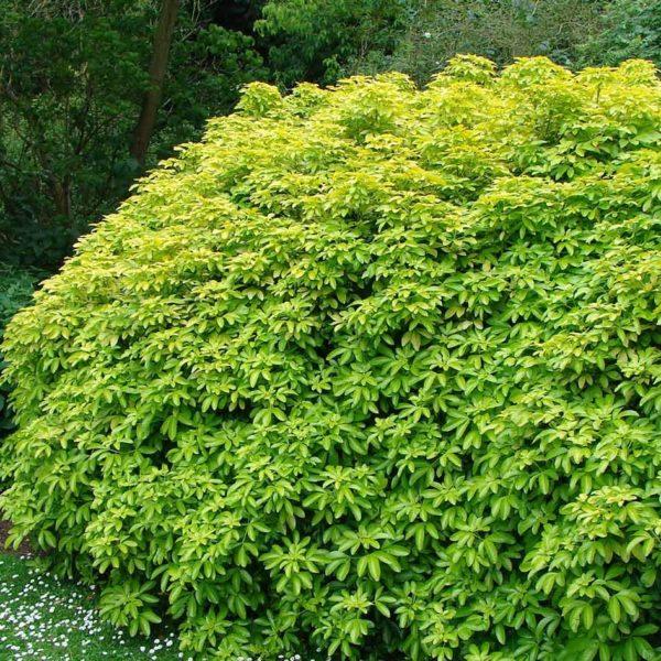 Choisya Ternata Sundance 9cm Pot Plants - Set of 3