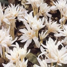 Colchicum Bulbs - autumnale Alboplenum