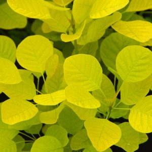 Cotinus coggygria Golden Spirit 9cm Pot Plants - Set of 3
