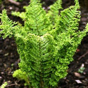 Dryopteris filix-m. Crispa Cristata 9cm Pot Plants - Set of 3