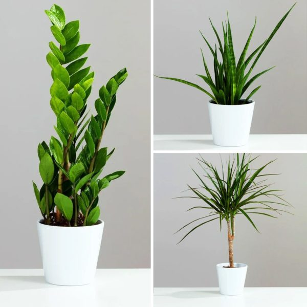 Evergreen Houseplant Collection 3 plants in 12cm Ceramic Pots
