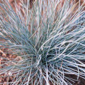 Festuca glauca Elijah Blue 9cm Pot Plants - Set of 3