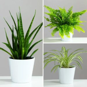 For Bathrooms Houseplant Collection 3 plants in 12cm Ceramic Pots