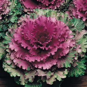 Ornamental Brassica Rose 12 Large Plants