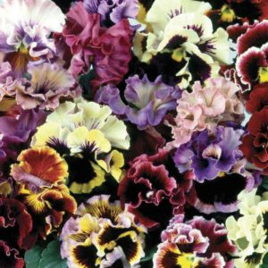 Pansy Can Can (Autumn) 170 Small Plug Plants