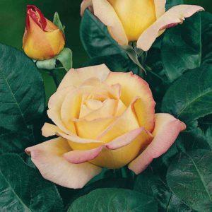 Peace Hybrid Tea Rose Bare Root Plant