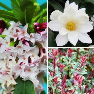 Scented Shrub Collection 9cm Pot Plants - Set of 3