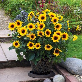 Sunflower Plant - SunBelievable Brown Eyed Girl