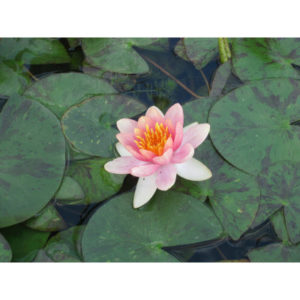 Anglo Aquatic 1L Changeable 'Aurora' Nymphaea Lily (EXTRA 2-3 WEEKS FOR DELIVERY)