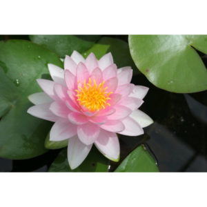 Anglo Aquatic 1L Pink 'Darwin (Hollandia)' Nymphaea Lily (EXTRA 2-3 WEEKS FOR DELIVERY)