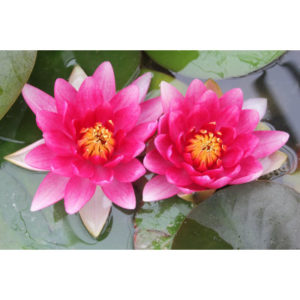 Anglo Aquatic 1L Red 'Attraction' Nymphaea Lily (EXTRA 2-3 WEEKS FOR DELIVERY)