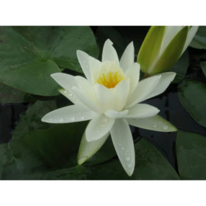 Anglo Aquatic 1L White 'Alba' Nymphaea Lily (EXTRA 2-3 WEEKS FOR DELIVERY)