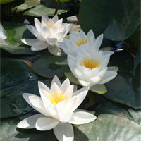 Anglo Aquatic 1L White 'Virginalis' Nymphaea Lily (EXTRA 2-3 WEEKS FOR DELIVERY)