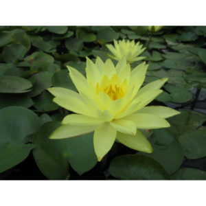 Anglo Aquatic 1L Yellow 'Joey Tomocik' Nymphaea Lily (EXTRA 2-3 WEEKS FOR DELIVERY)