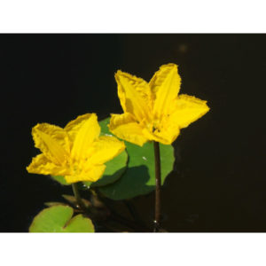 Anglo Aquatic 1L Yellow 'Nymphoides Peltata' (Fringed Water Lily) Deep Water Plant (EXTRA 2-3 WEEKS FOR DELIVERY)