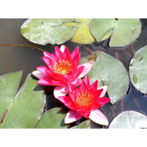 Anglo Aquatic Red 1L 'Pygmaea Rubra' Lily (EXTRA 2-3 WEEKS FOR DELIVERY)