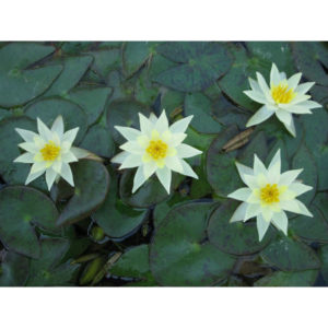 Anglo Aquatic Yellow 1L 'Pygmaea Helvola' Lily (EXTRA 2-3 WEEKS FOR DELIVERY)