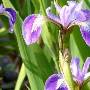 Anglo Aquatics Iris Versicolor 9cm