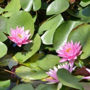 Anglo Aquatics Nymphaea Rose Arey 1 Litre