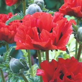Poppy Plants - King Kong