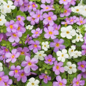 Bacopa Bluetopia & Snowtopia Mix 24 Large Plants