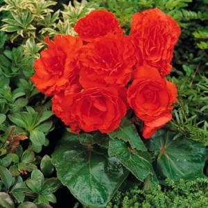 Begonia Compacta Orange 13cm Pots Set of 6