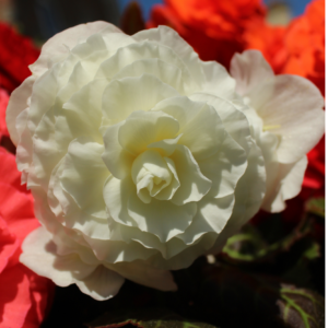 Begonia Compacta White 13cm Pots Set of 6