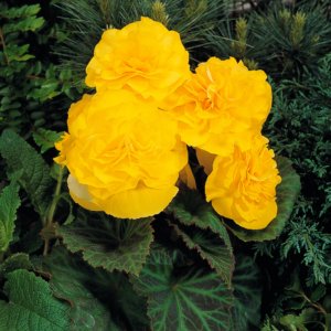 Begonia Compacta Yellow 24 Large Plants