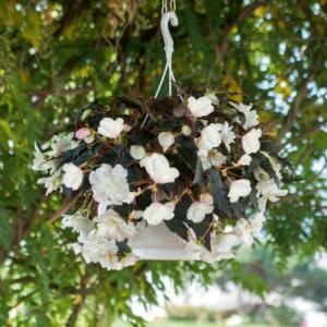 Begonia Non Stop Joy Mocca White (Semi-Trailing) 24 Large Plants