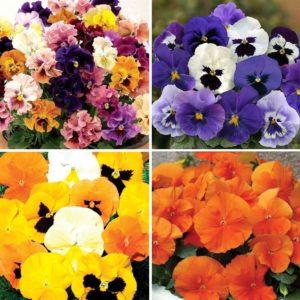 Colourburst and Fragrance - 48 Large Plants