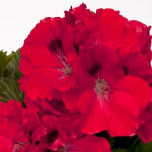 Geranium Regal Pelargonium Elegance Rosanna - 13cm Pots Set of 3