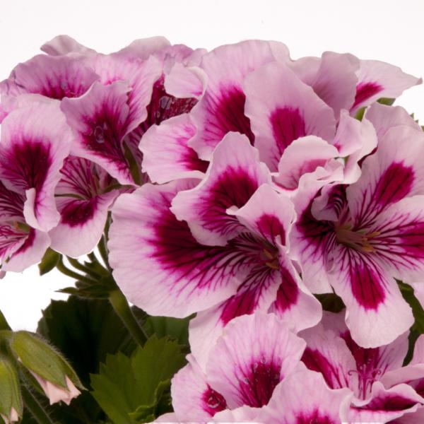 Geranium Regal Pelargonium Regalia Lilac - 13cm Pots Set of 3
