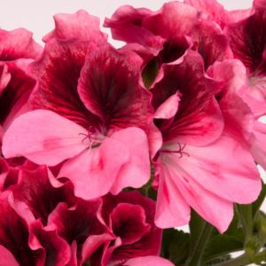 Geranium Regal Pelargonium Regalia Pink - 13cm Pots Set of 3
