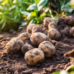 Maris Bard Seed Potatoes 2kg