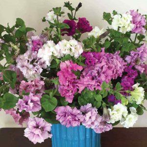 Petunia Allegra Cut Flower 12 Mega Plants