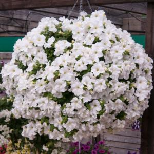 Petunia Fanfare White - 13cm Pots Set of 6