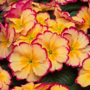 Primrose F1 Scentsation Rhubarb and Custard 12 Mega Plants