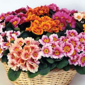 Primrose Sunarise 24 Large Plants