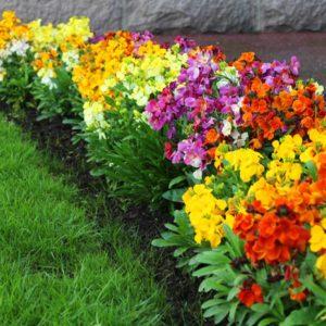 Wallflower Wizard 70 Medium Plug Plants