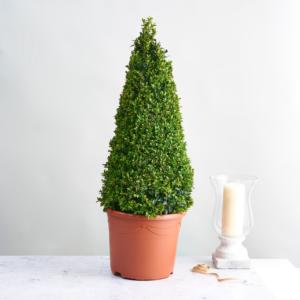 21cm Buxus Pyramid Tree