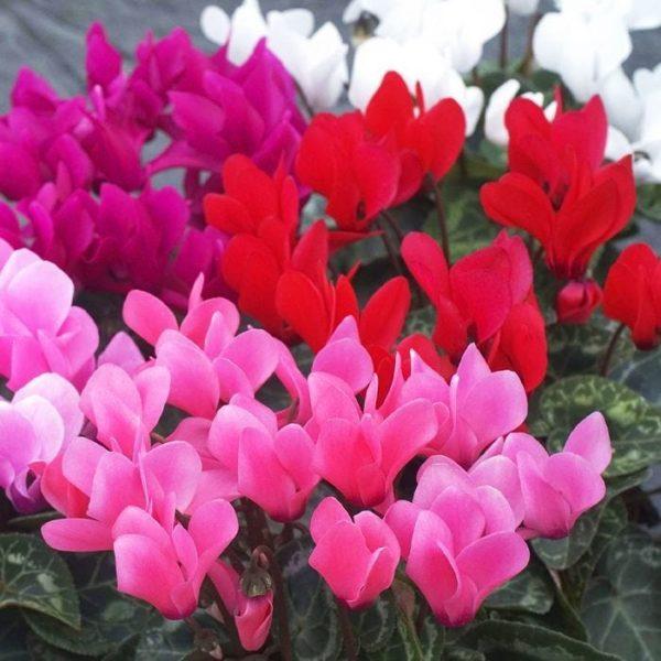 4 Pots of Cyclamen (Pink)