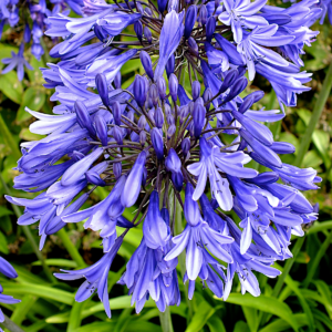 Agapanthus Star Dust (Lily of the Nile) 1 x 9cm Pot