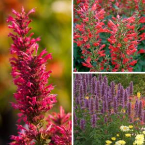 Agastache Collection (anine hyssop) 12 Premium Large Plants