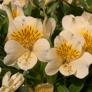 Alstroemeria Inticanha Cabana 13cm Pot Plants - Set of 3