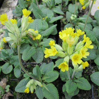 Anglo Aquatics Primula Veris 9cm 3 Pack