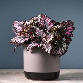 Begonia Rex-Hybrid Helen Teupel